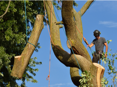 Limb removal by a tree removal expert high up in a tree