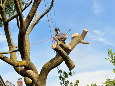 Large limb being cut down by a tree professional